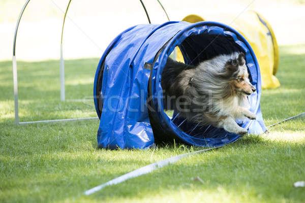 собака овчарка работает туннель области Сток-фото © AvHeertum