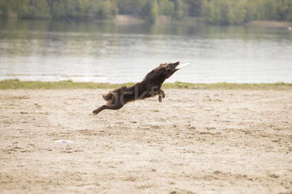собака австралийский пастух диск песок поверхность Сток-фото © AvHeertum