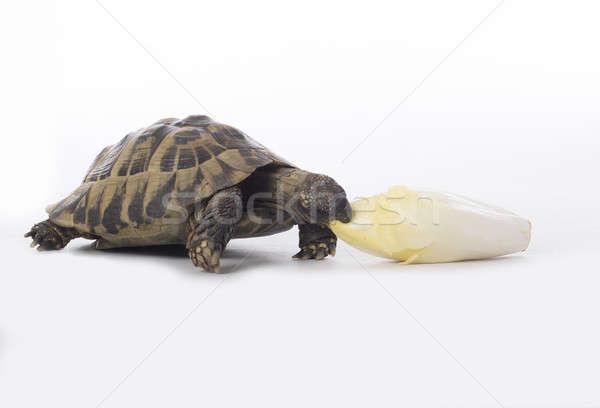 Görög föld teknősbéka eszik fehér stúdió Stock fotó © AvHeertum