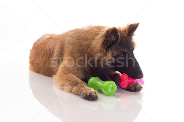 Köpek yavrusu altı ay eski parlak Stok fotoğraf © AvHeertum