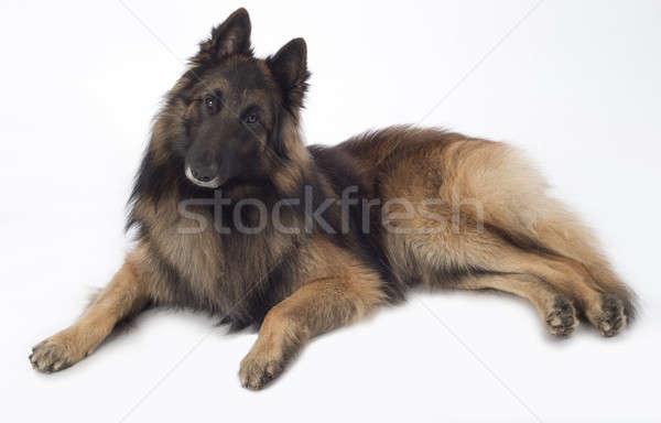 Dog, Belgian Shepherd Tervuren, lying, isolated Stock photo © AvHeertum