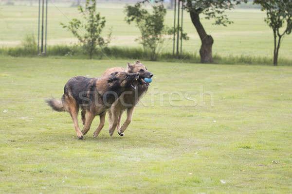Due cani pastore belga giocare palla Foto d'archivio © AvHeertum