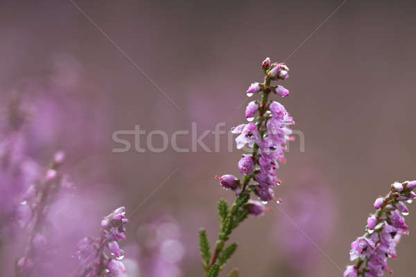 Heath, macro, with raindrops Stock photo © AvHeertum