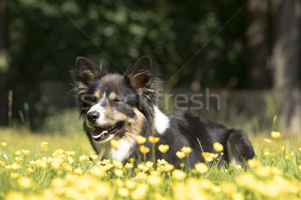 Hond border collie gras gele bloemen haren portret Stockfoto © AvHeertum