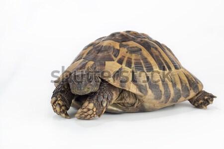 Grieks grond schildpad textuur natuur achtergrond Stockfoto © AvHeertum