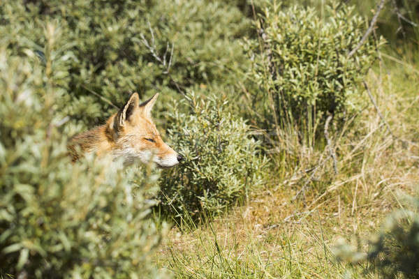 Head of red fox coming out of the bushes Stock photo © AvHeertum