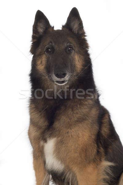 Hond geïsoleerd witte haren achtergrond Stockfoto © AvHeertum