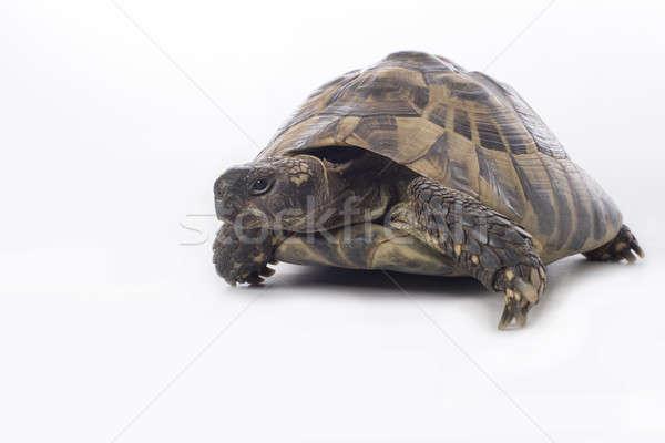 Grieks grond schildpad witte studio textuur Stockfoto © AvHeertum