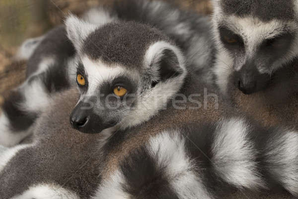 Lemur Stock photo © AvHeertum