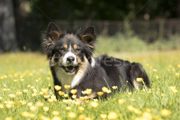 Psa border collie trawy żółte kwiaty włosy portret Zdjęcia stock © AvHeertum