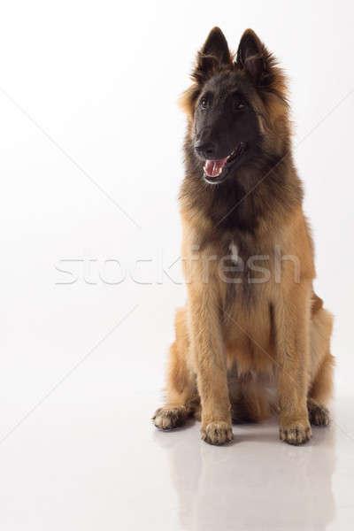 Hond puppy zes maanden oude Stockfoto © AvHeertum