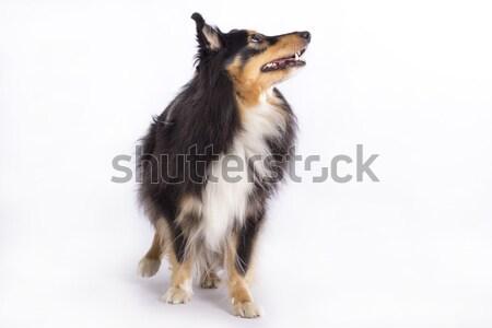 Isolado em pé branco estúdio cão Foto stock © AvHeertum