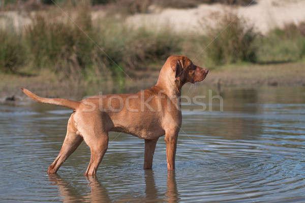 Hond hongaars permanente water voorjaar gras Stockfoto © AvHeertum
