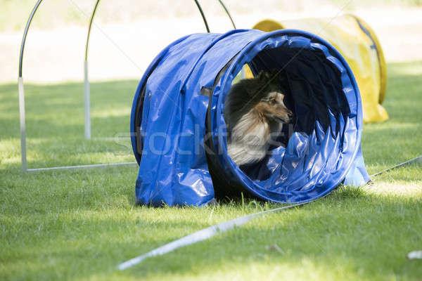 Dog, Shetland Sheepdog, running through agility tunnel Stock photo © AvHeertum