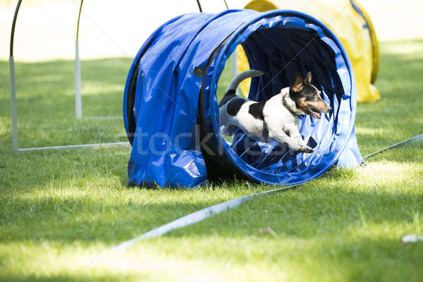 Dog, Jack Russell Terrier, running through agility tunnel Stock photo © AvHeertum