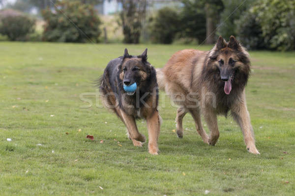 Due cani pastore belga capelli esecuzione bocca Foto d'archivio © AvHeertum