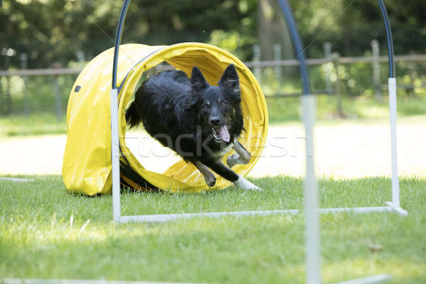 Dog, Border Collie, running through agility tunnel Stock photo © AvHeertum