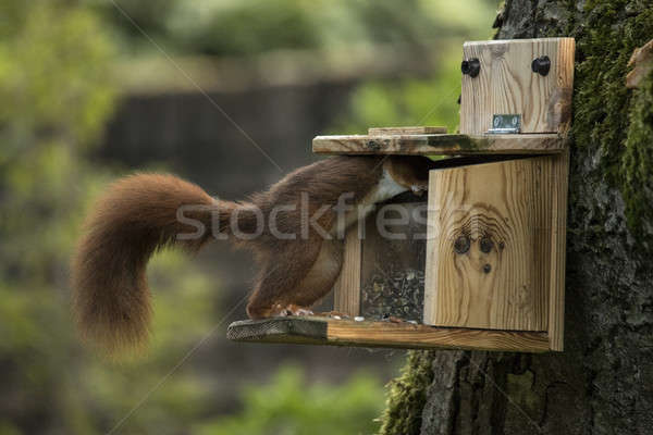 Stock photo: Red squirrel taking food from food dispenser