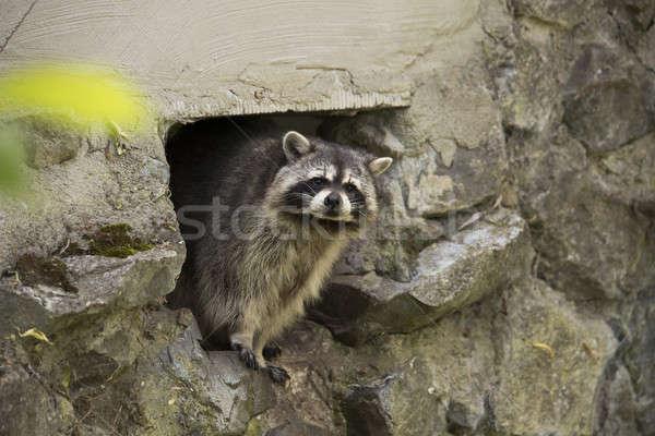 Raccoon looking in camera Stock photo © AvHeertum