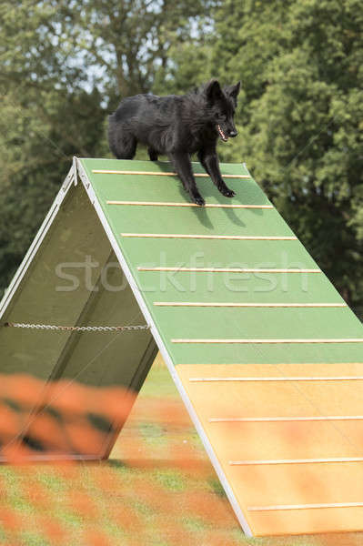 Dog, running over a-frame in agility competition Stock photo © AvHeertum