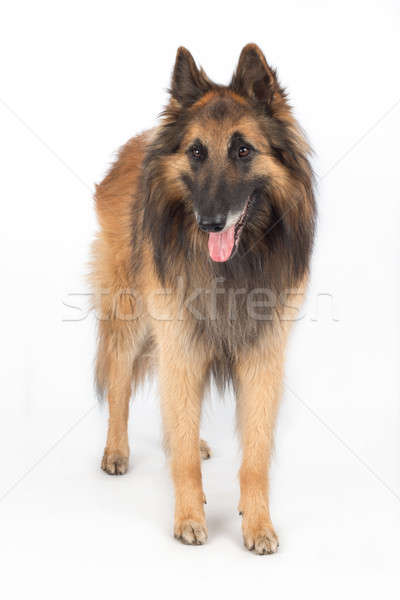 Hond permanente geïsoleerd witte haren Stockfoto © AvHeertum