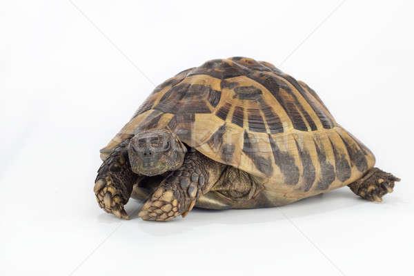 greek land tortoise, Testudo Hermanni Stock photo © AvHeertum