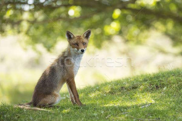 Rot Fuchs Sitzung schauen Kamera Augen Stock foto © AvHeertum