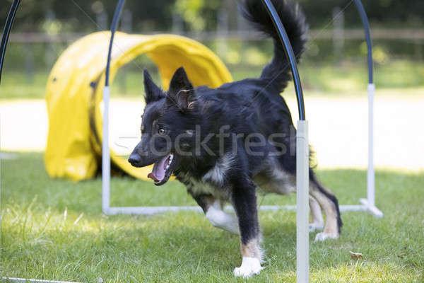 Dog, Border Collie, running through hoopers, agility Stock photo © AvHeertum