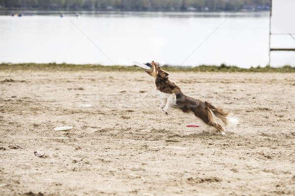 Dog, Border Collie, catching disk Stock photo © AvHeertum