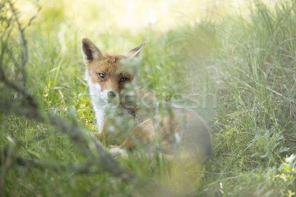 Kırmızı tilki bakıyor arkasında çim kamera Stok fotoğraf © AvHeertum
