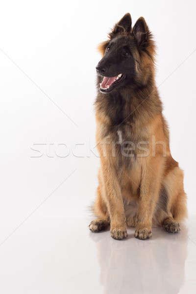 Puppy hond zes maanden oude vergadering Stockfoto © AvHeertum