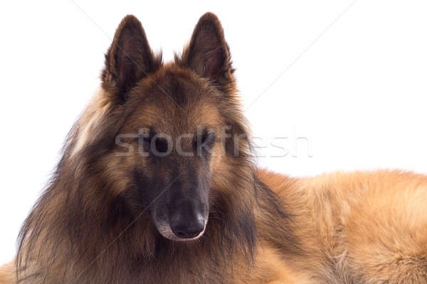 Belgian Shepherd Tervuren, dog, laying down, white studio backgr Stock photo © AvHeertum