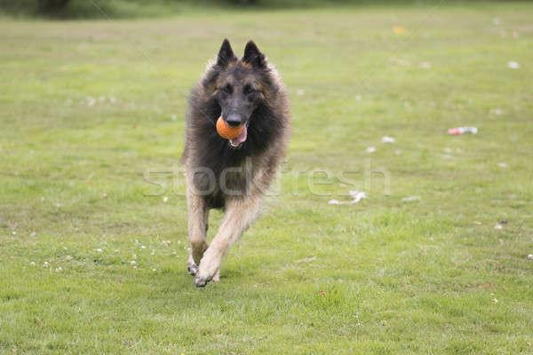 Hond lopen gras haren Stockfoto © AvHeertum