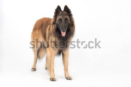 Pastore belga cane piedi isolato bianco capelli Foto d'archivio © AvHeertum