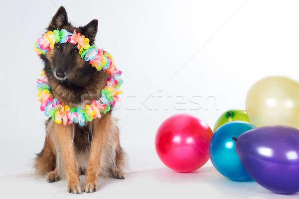 Stok fotoğraf: Köpek · renkli · balonlar · parti · doğum · günü