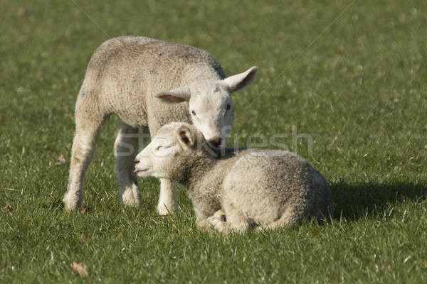 Two lambs on pasture Stock photo © AvHeertum