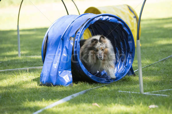Dog, Shetland Sheepdog, running through agility tunnel Stock photo © AvHeertum