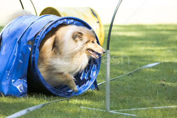 Dog, Scottish Collie, running through agility tunnel Stock photo © AvHeertum