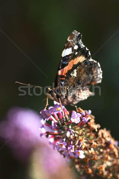 Stockfoto: Pauw · vlinder · eten · bloem · blad