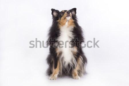 Isolado sessão branco cão Foto stock © AvHeertum