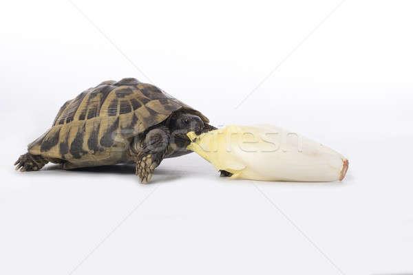 Greek land tortoise, Testudo Hermanni, eating chicory, white studio background Stock photo © AvHeertum