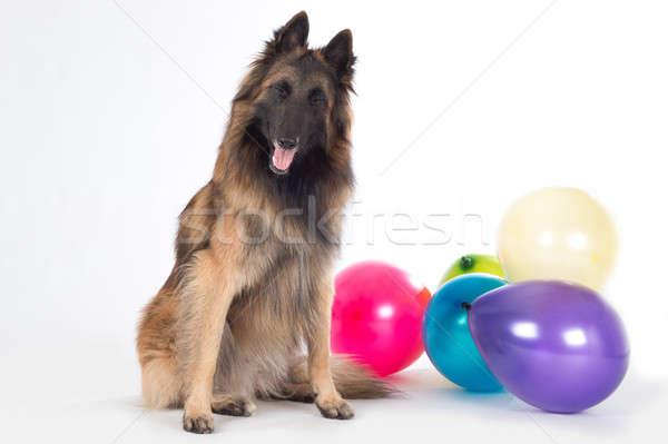 Köpek oturma gözleri kapalı renkli balonlar yalıtılmış Stok fotoğraf © AvHeertum