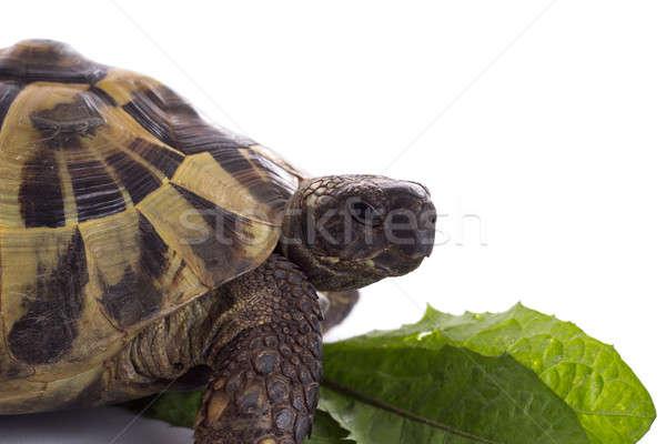 Grieks grond schildpad witte studio groen blad Stockfoto © AvHeertum