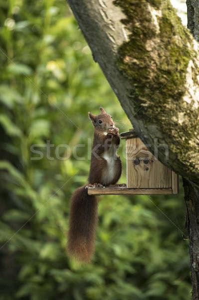 Red squirrel sitting and eating Stock photo © AvHeertum