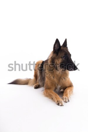 Belgian Shepherd Tervuren bitch laying down, white studio backgr Stock photo © AvHeertum