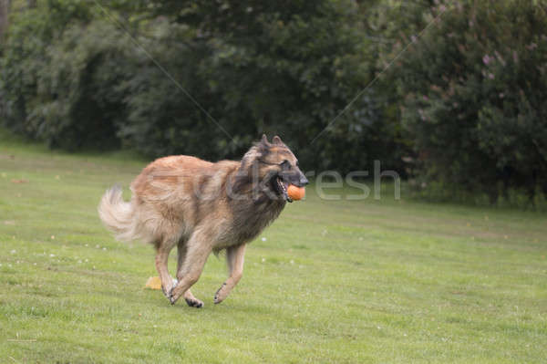 Chien courir herbe cheveux orange Photo stock © AvHeertum