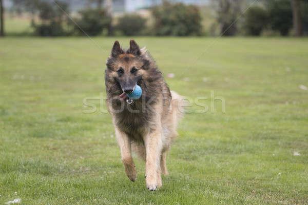 Hond lopen bal haren Stockfoto © AvHeertum