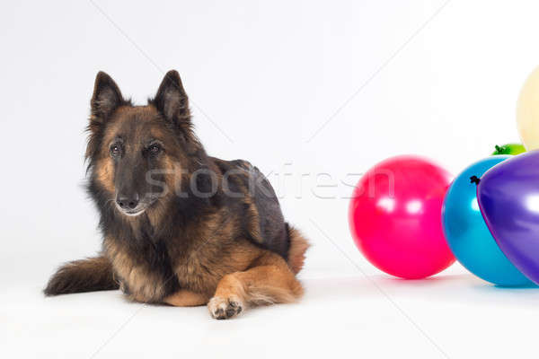 Köpek renkli balonlar yalıtılmış beyaz Stok fotoğraf © AvHeertum
