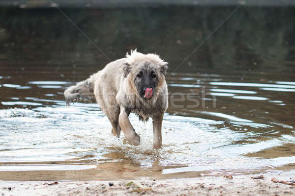 Young Turkish sheepdog playing in water Stock photo © AvHeertum