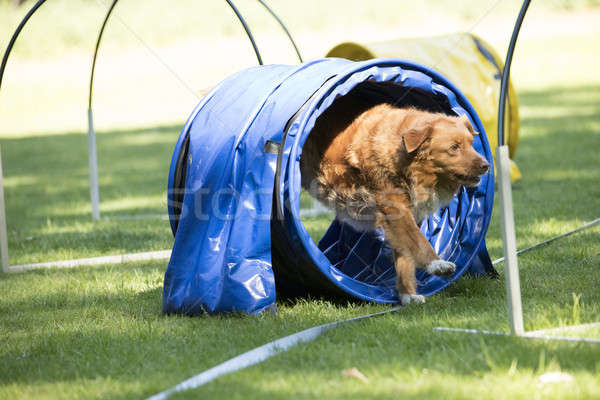 Dog, Nova Scotia duck tolling retriever, running through agility Stock photo © AvHeertum